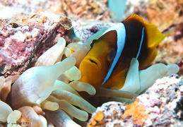 Rotmeer Anemonenfisch - Amphipricon bicinctus - red sea anemonefish or two banded anemonefish