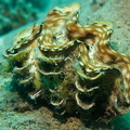 Schuppige Riesenmuschel - Tridacna squamosa - fluted giant clam