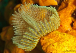 Federwurm - Sabellidae sp. - feather duster worm