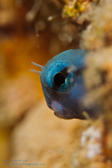 Rotmeer -Mimikry-Kammzähmer - Ecsenius gravieri - Red Sea Mimic Blenny