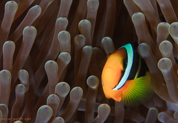 Amphiprion sabae - Indische Anemonenfisch - Northern Indian anemonefish