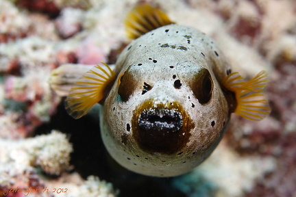 Arothron nigropunctatus - Schwarzfleckkugelfisch - Blackspotted pufferfish