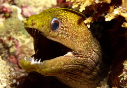 Marmormuräne  - Gymnothorax undulatus - Undulated Moray