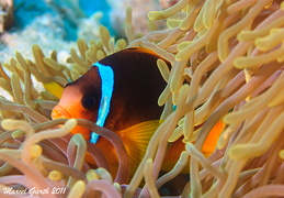 Rotmeer Anemonenfisch - Amphipricon bicinctus - red sea anemonefish or two banded anemonefish  Marsa Nakari