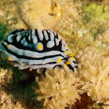 Variable Warzenschnecke - Phyllidia varicosa - Scrambled Egg Nudibranch