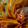 Haarsternkrabbe - Tiaramedon spinosus (ceratocarcinus spinosus) - Red Sea feather star crab