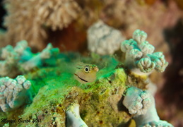 Rotmeer Kammzähmer - Ecsenius dentex - Red Sea Combtooth Blenny