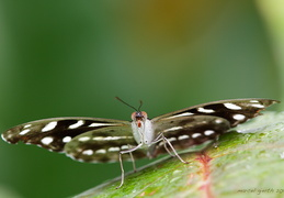 Schmetterling 02 900