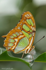 Siproeta stelenes - Malachitfalter - The Malachite