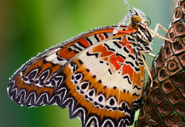 Cethosia biblis; Red Lacewing