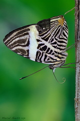 Colobura dirce - Zebra mosaic