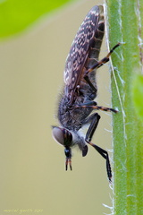 Haematopota pluvialis - Regenbremse / Blinde Fliege - Common Horse Fly or 'Notch-horned Cleg Fly