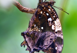 Hypna clytemnestra, Marbled  Leafwing