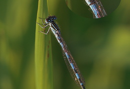 Helm-Azurjungfer - Coenagrion mercuriale