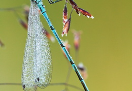 Hufeisenazurjungfer - Coenagrion puella -