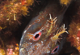 blenny-fb-003