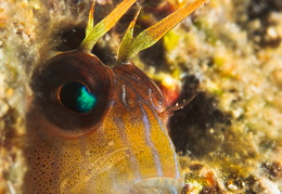 blenny-fb-004