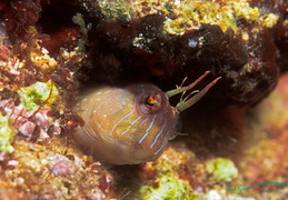 n blenny fb 003