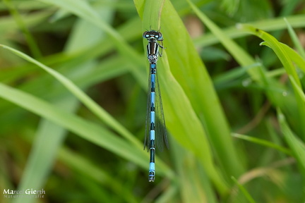 Helm-Azurjungfer (Coenagrion mercuriale)