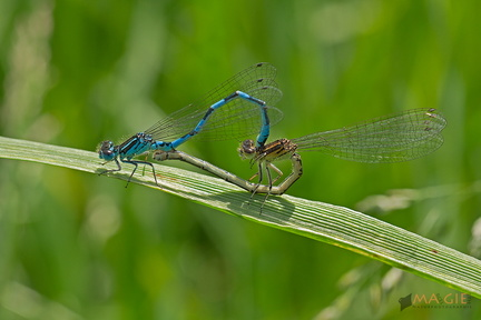 Paarung Helm-Azurjungfer (Coenagrion mercuriale)