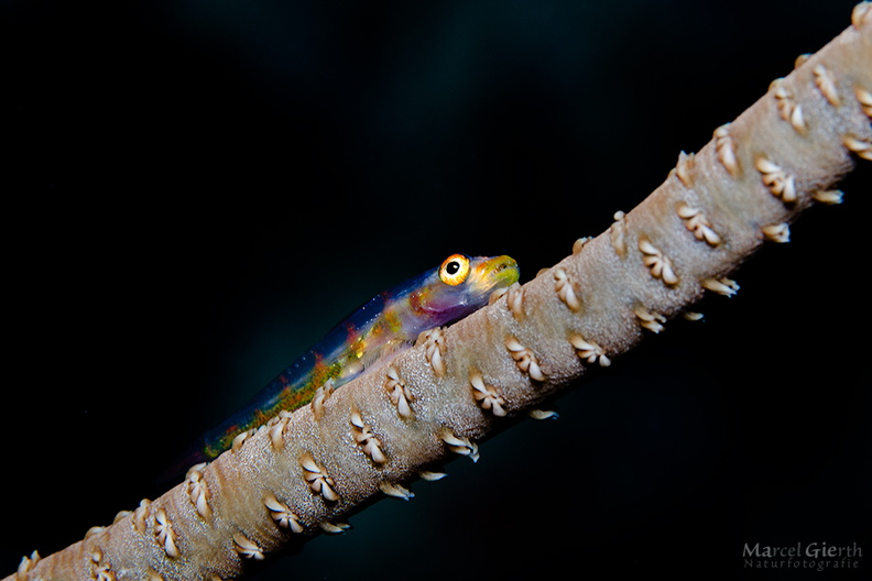 c_blenny_fb_01.jpg