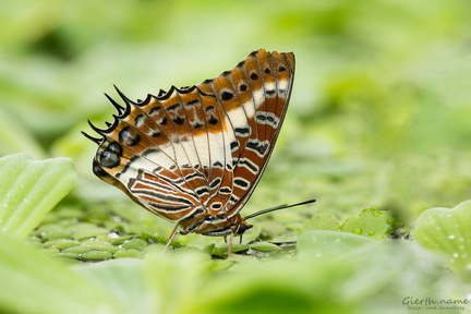 Charaxes sp