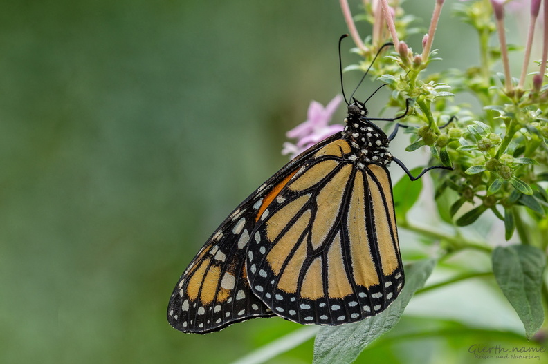 BotMuc, Monarch -20170228.jpg