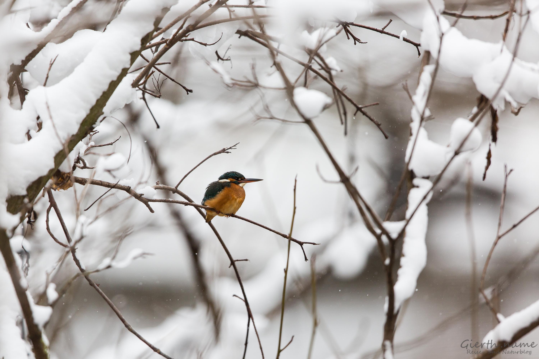 Eisvögel und Waldkauz