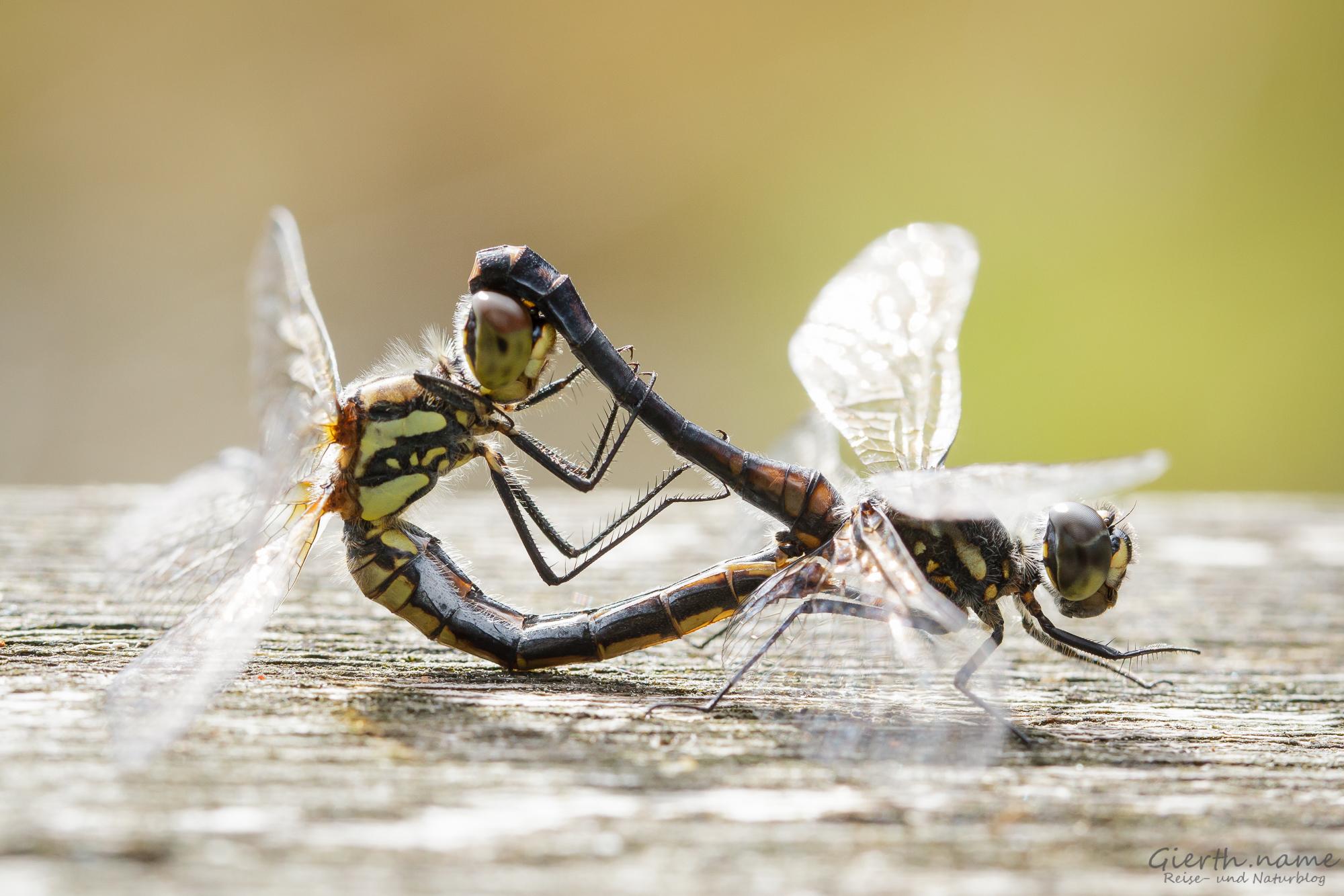 Paarungsrad Sympetrum danae - Schwarze Heidelibelle