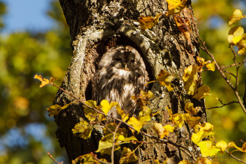 Vogel des Jahres 2017: Der Waldkauz (Strix aluco)