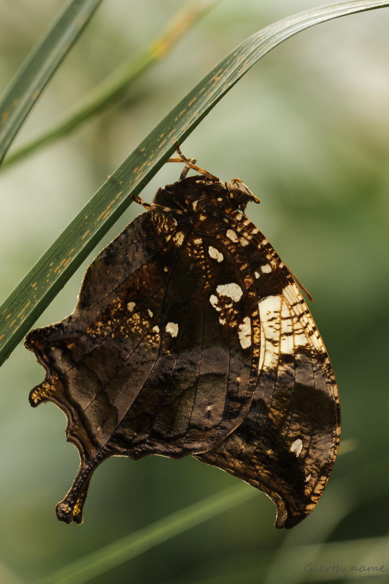 Hypna clytemnestra, Marbled Leafwing