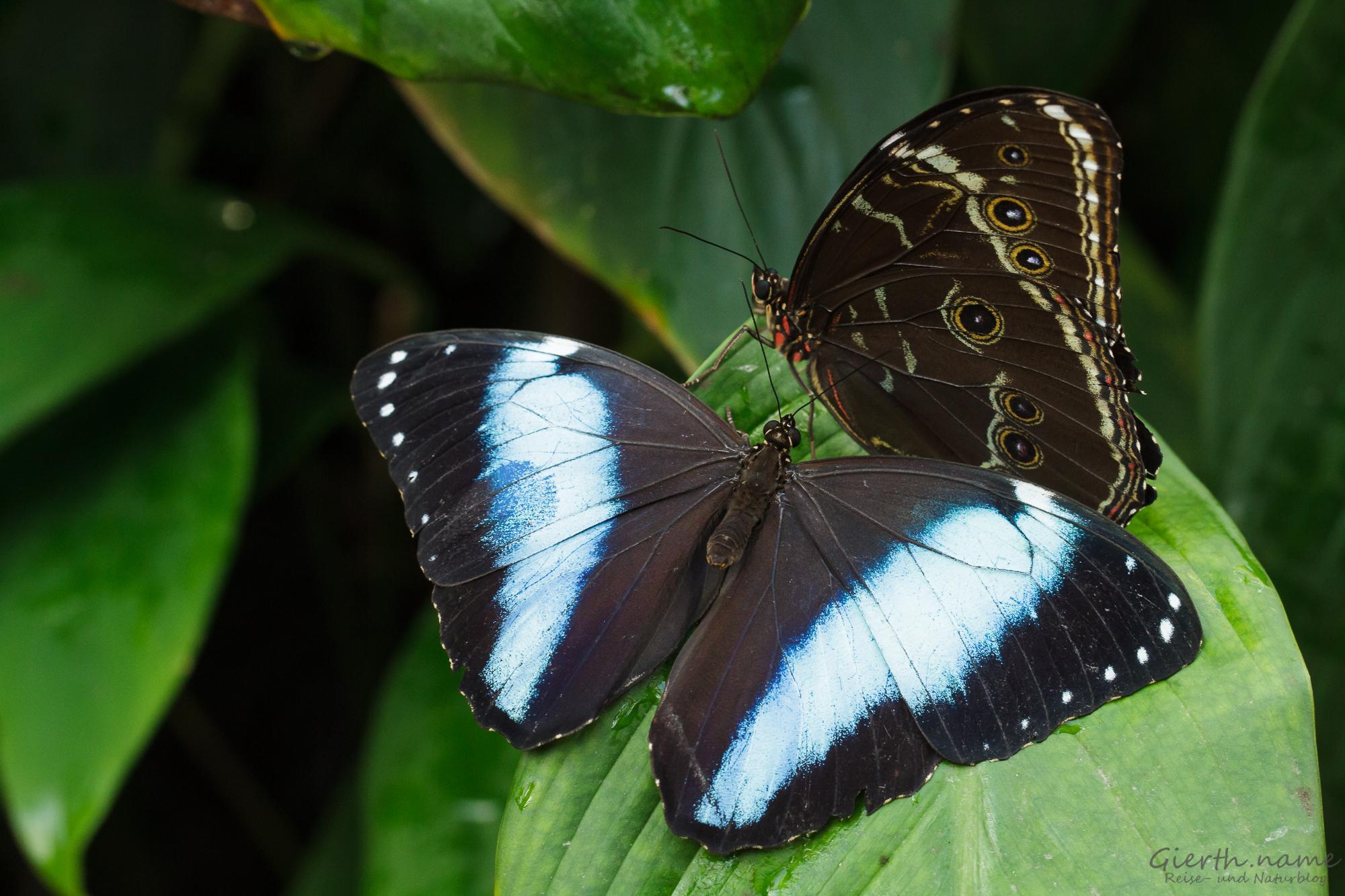 Blaue Morphofalter (Morpho peleides)
