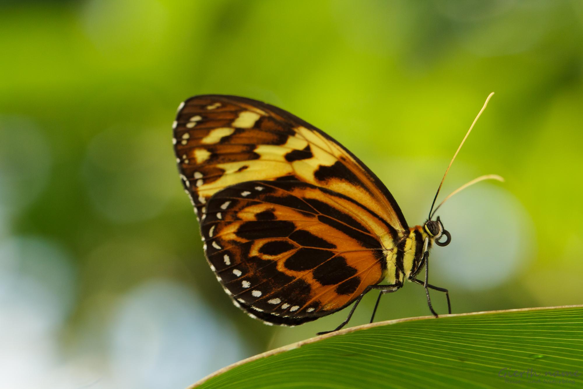 Tropische Schmetterlinge im Botanischen Garten München