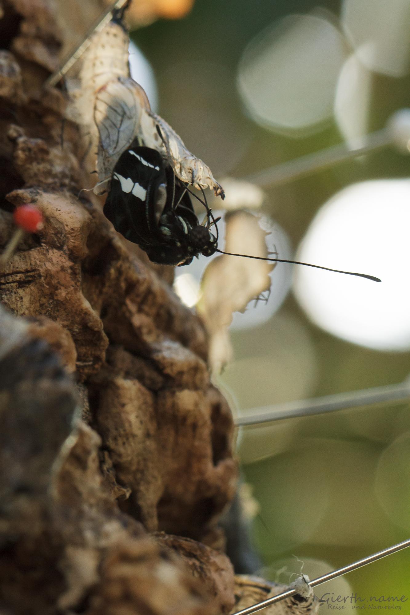 Schmetterlingsschlupf im BotMuc