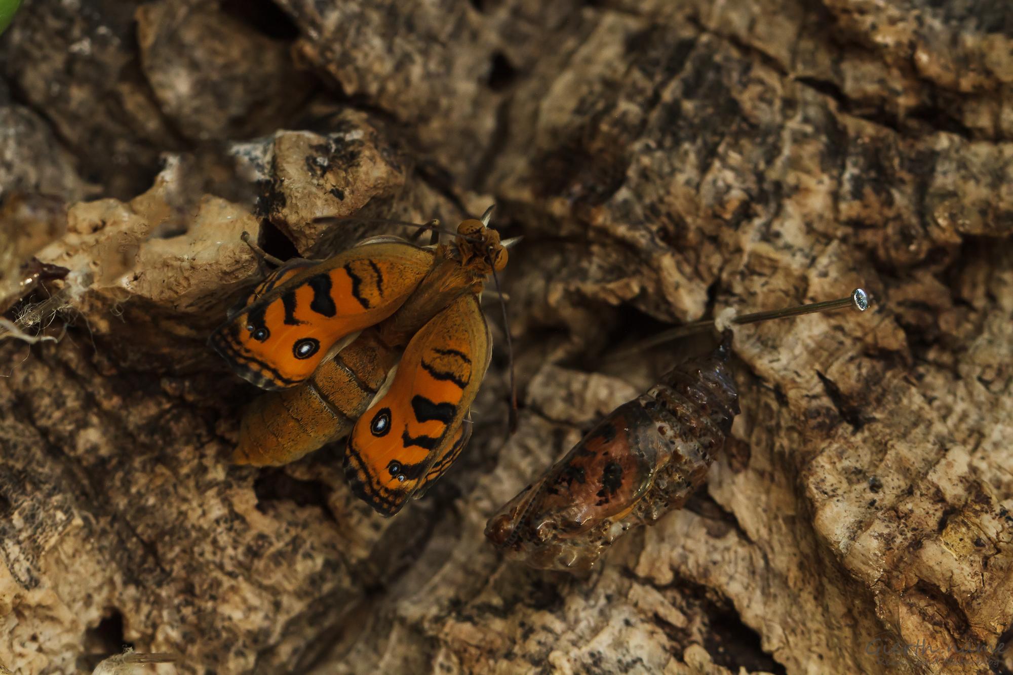Frisch geschlüpfter Schmetterling