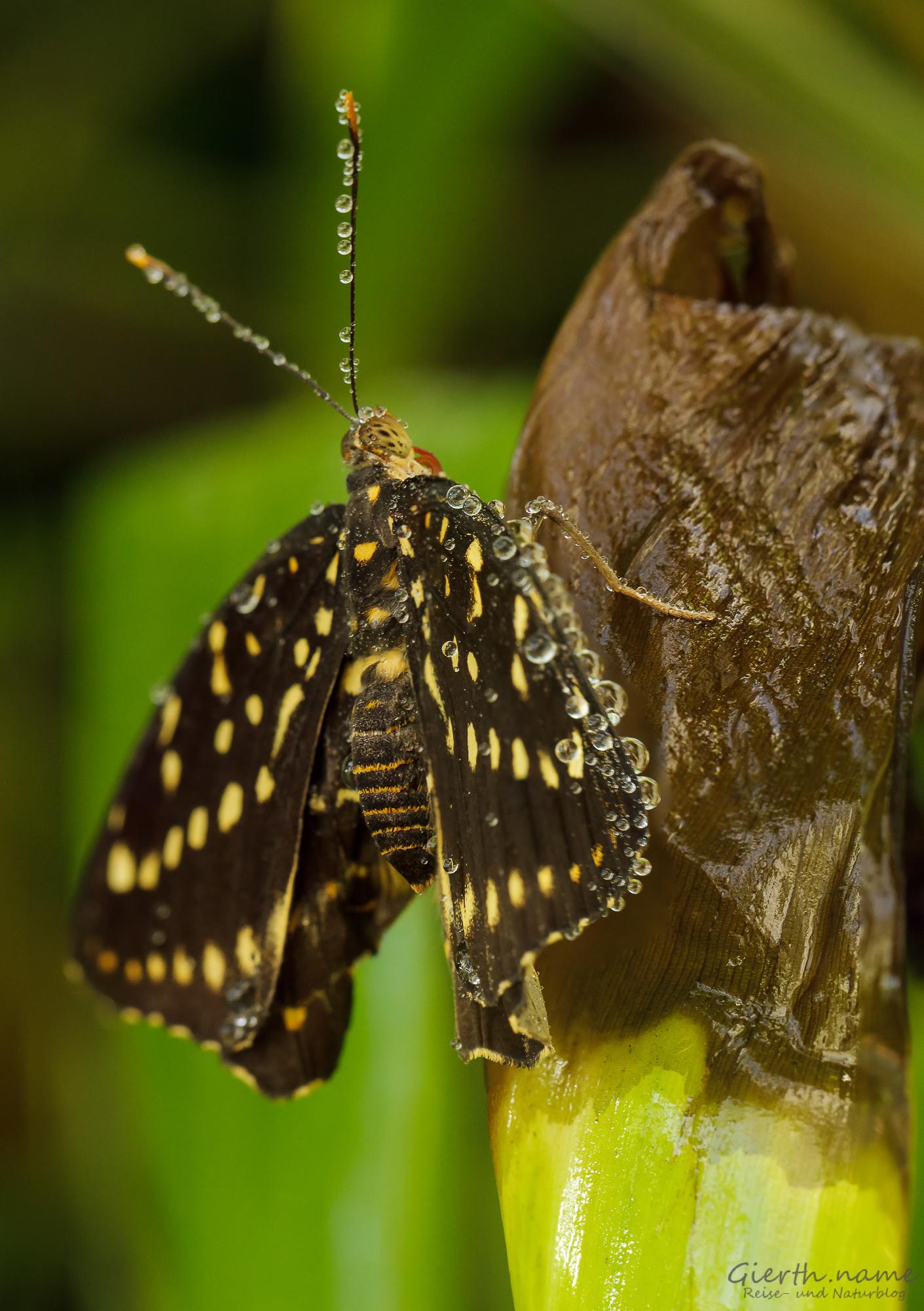 Schmetterling mit Tropfen