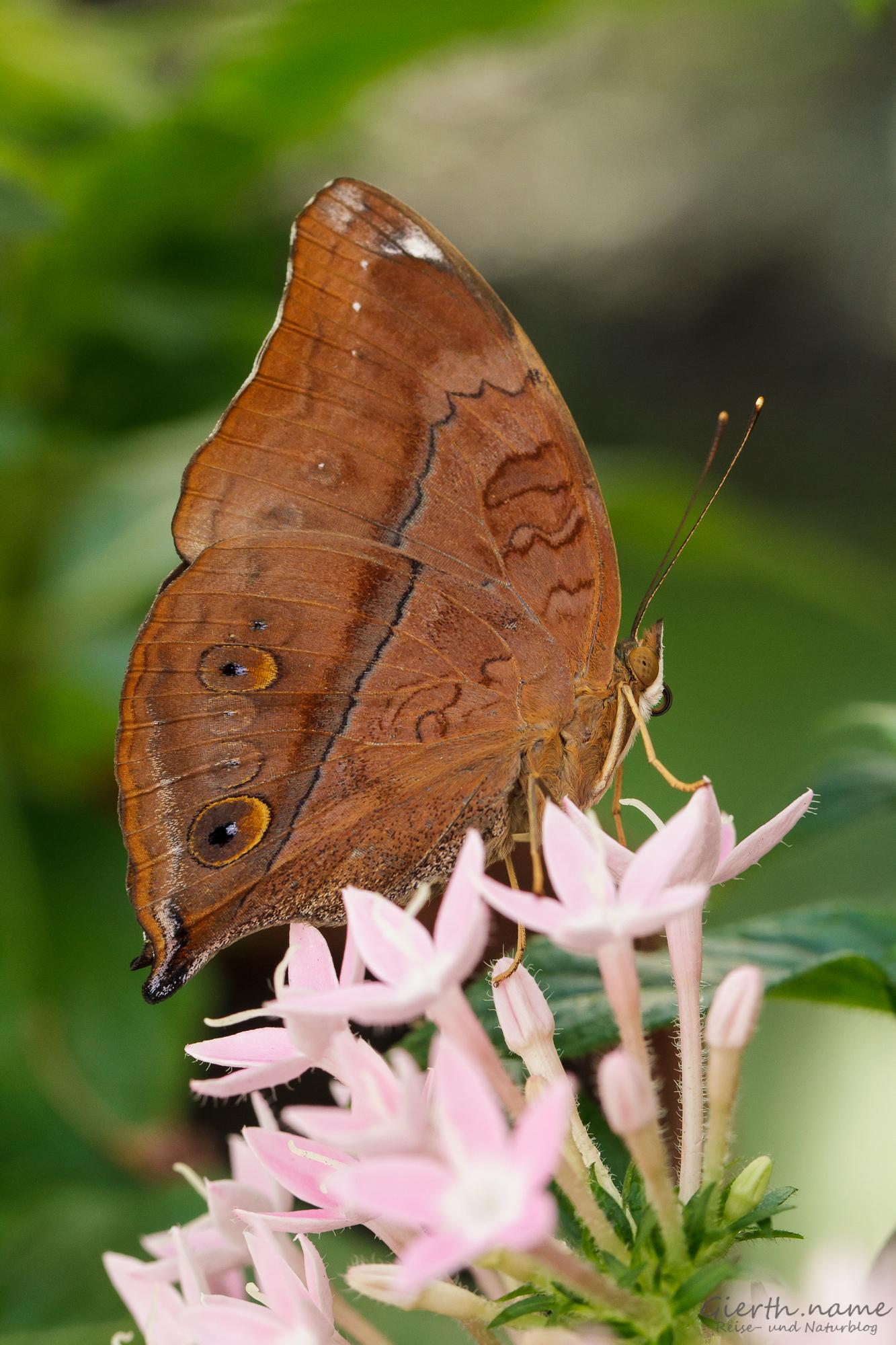 Doleschallia bisaltide - Wandelndes Blatt