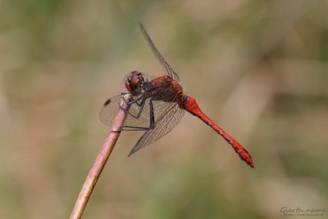 Sympetrum sanguineum - Blutrote Heidelibelle