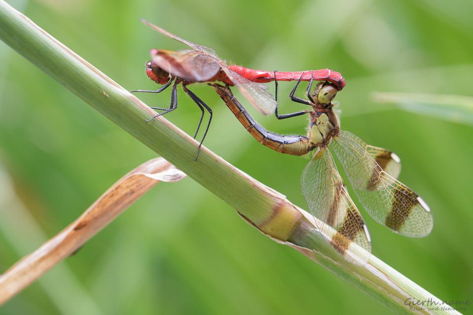 Paarungsrad der Gebänderten Heidelibelle - Sympetrum pedemontanum