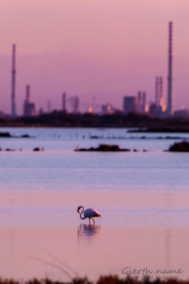 Flamingo vor Industrie