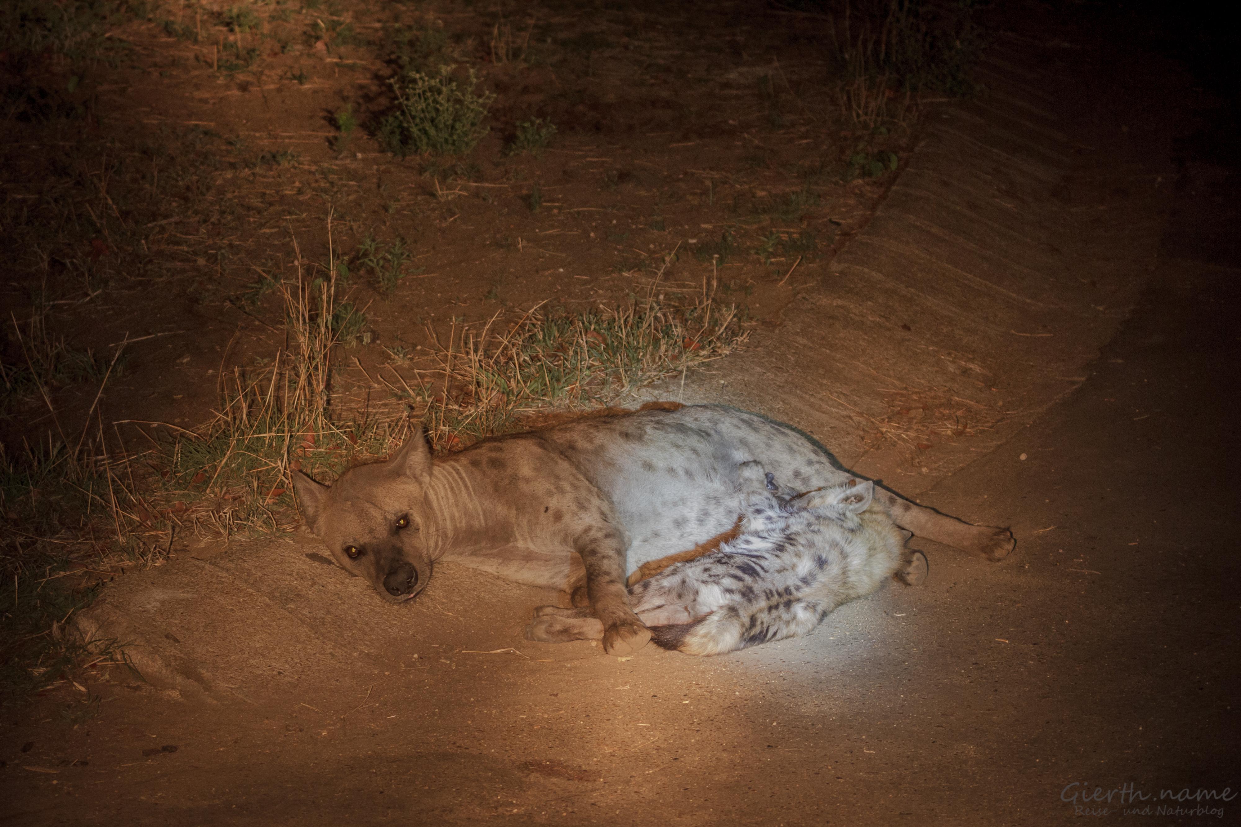 Hyäne beim nächtlichen säugen