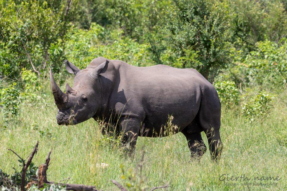 Nashorn im Krüger-Park
