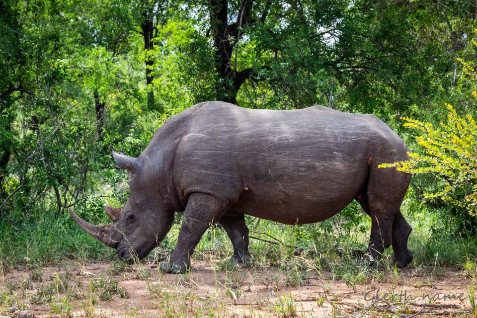 Nashorn Nummer 2