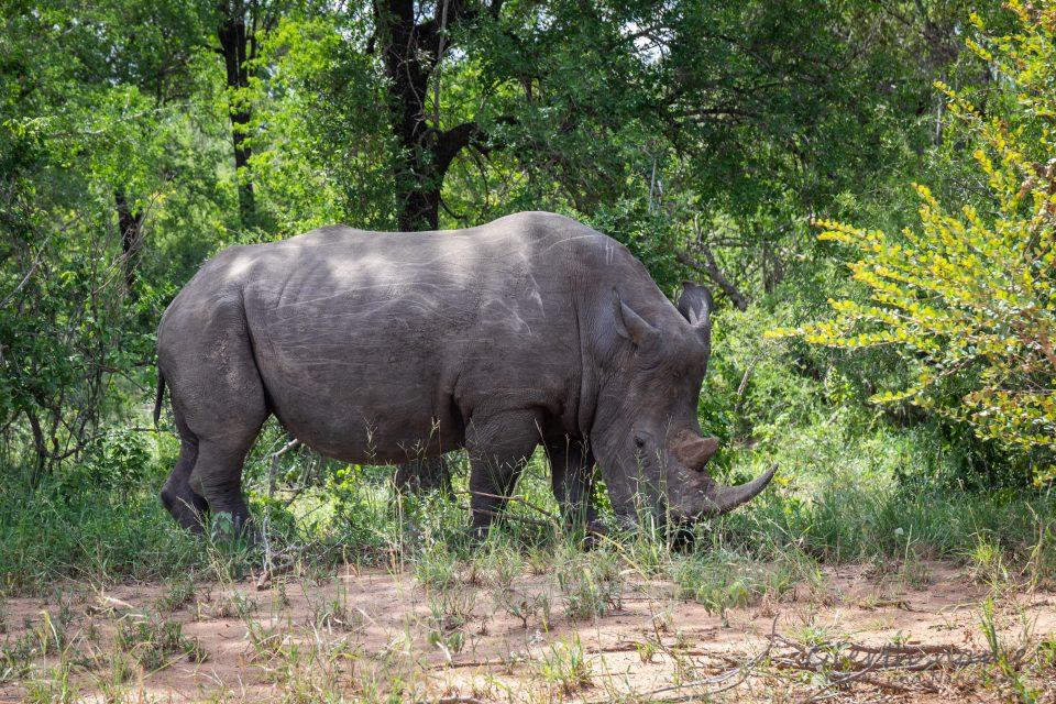 Ohne Scheu unser drittes Breitmaulnashorn im Krüger-Park