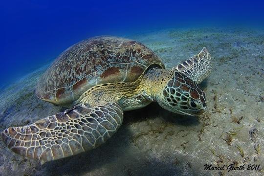 Grüne Schildkröte in Abu Dabab