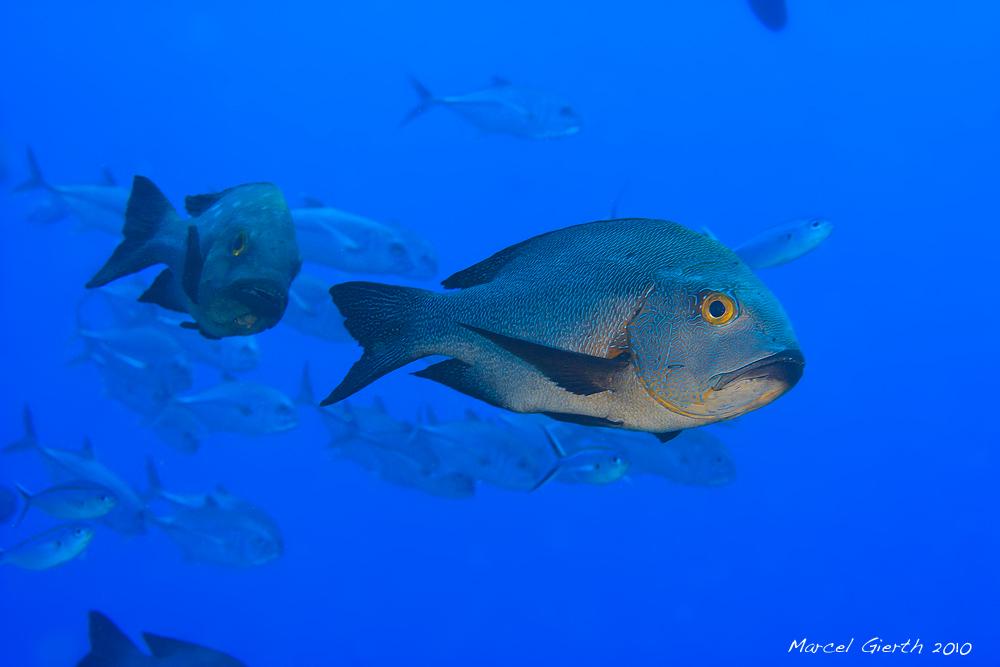 Palau 2010 – ein echtes Hai-Light