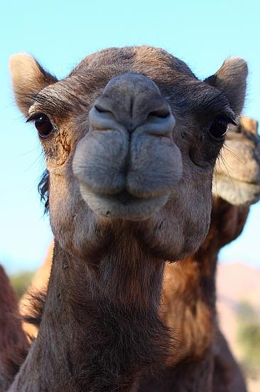 Kamel in Dahab