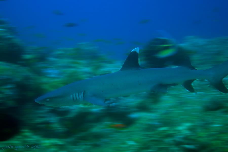 Weißspitzenriffhai am Hausriff