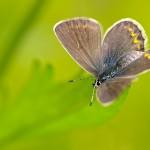 Dunkelbrauner Bläuling - Aricia agestis