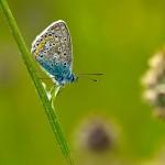 Hauhechelbläuling - Gemeiner Bläuling - Polyommatus icarus